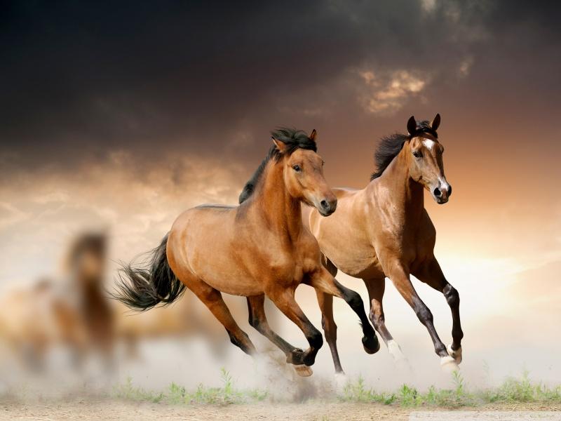 صور خيل اصيل , اجمل الخيول الاصيله