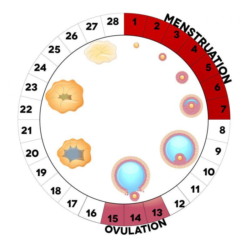 بالصور الايام المناسبة للحمل بعد الدورة الشهرية , ايام التبويض عند المراة 2249 1