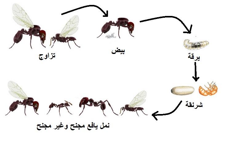 صور معلومات عن النمل , اغرب ما تعرفه عن النمل