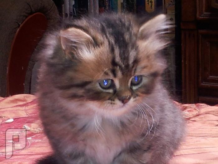 بالصور قطط هملايا , قط الهيمالايا ماهو 2283 1