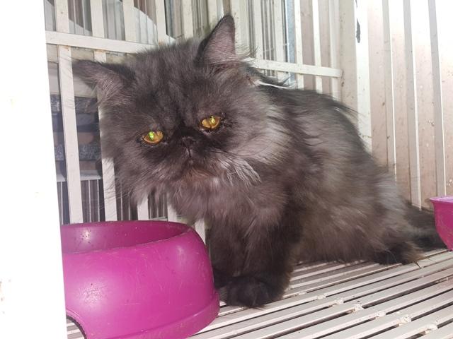 بالصور قطط هملايا , قط الهيمالايا ماهو 2283 10
