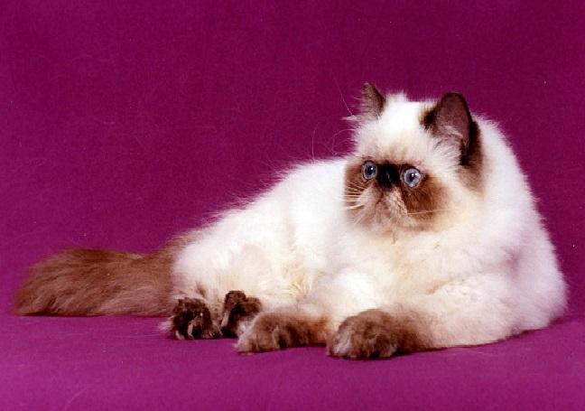 بالصور قطط هملايا , قط الهيمالايا ماهو 2283 11