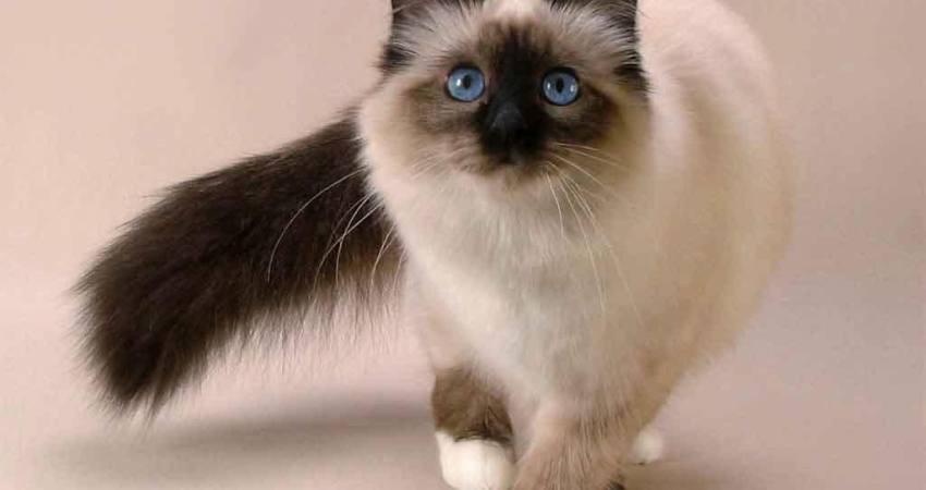 بالصور قطط هملايا , قط الهيمالايا ماهو 2283 2