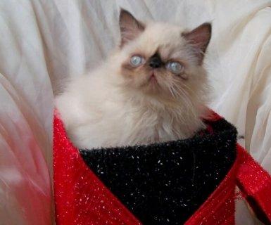 بالصور قطط هملايا , قط الهيمالايا ماهو 2283 3