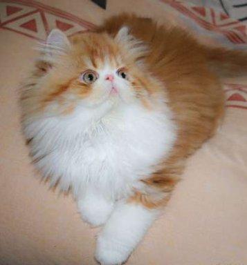 بالصور قطط هملايا , قط الهيمالايا ماهو 2283 4