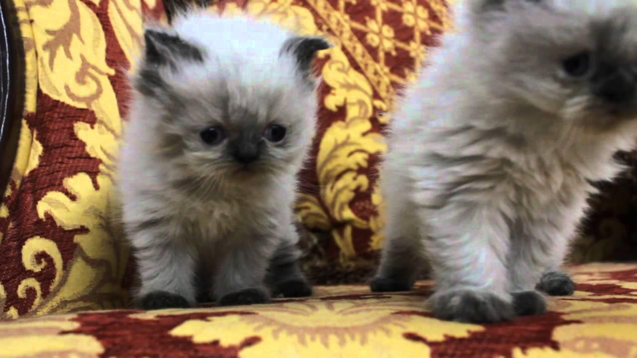 بالصور قطط هملايا , قط الهيمالايا ماهو 2283 5