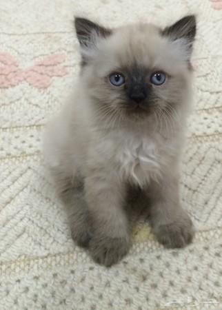 بالصور قطط هملايا , قط الهيمالايا ماهو 2283 6