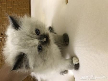 بالصور قطط هملايا , قط الهيمالايا ماهو 2283 7