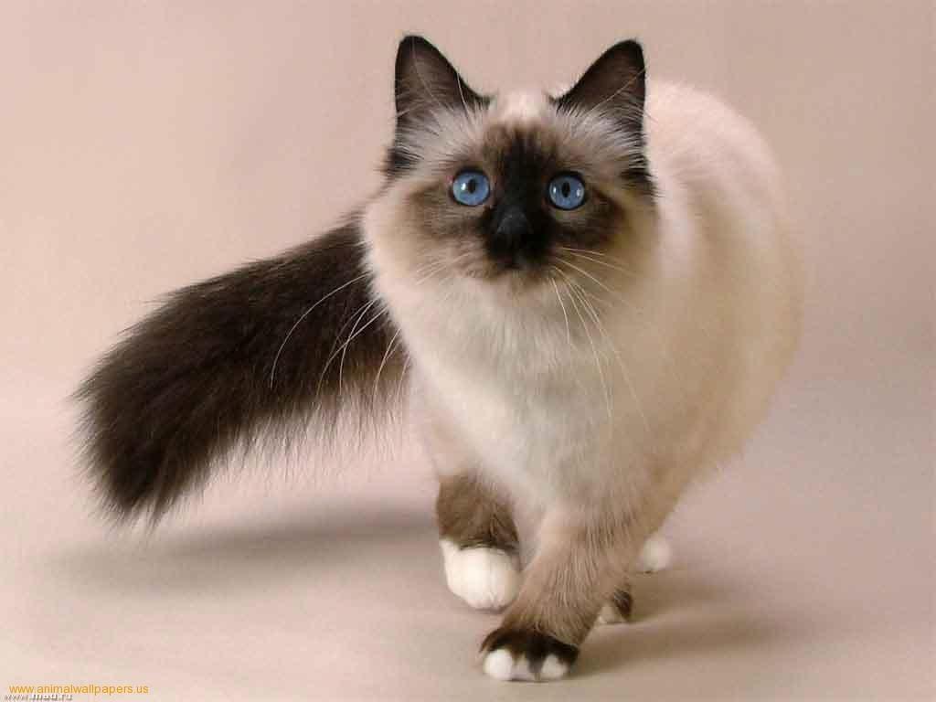 بالصور قطط هملايا , قط الهيمالايا ماهو 2283 8