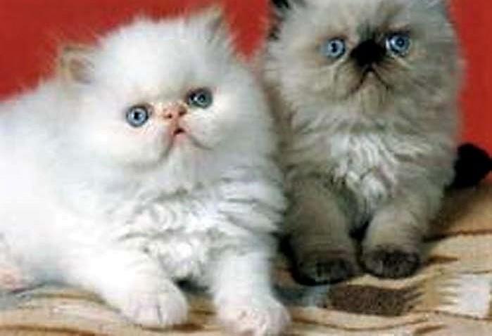 بالصور قطط هملايا , قط الهيمالايا ماهو 2283 9