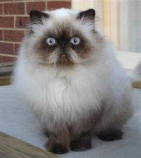 بالصور قطط هملايا , قط الهيمالايا ماهو 2283