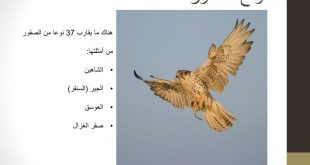 صورة انواع الصقور , الصقور من الطيور الجارحة 2617 4 310x165
