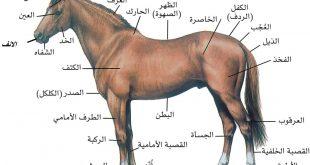 صور خيول عربية , الحصان العربي اصيل