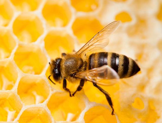صوره فوائد غذاء ملكات النحل , فائدة غذاء ملكات النحل للانسان