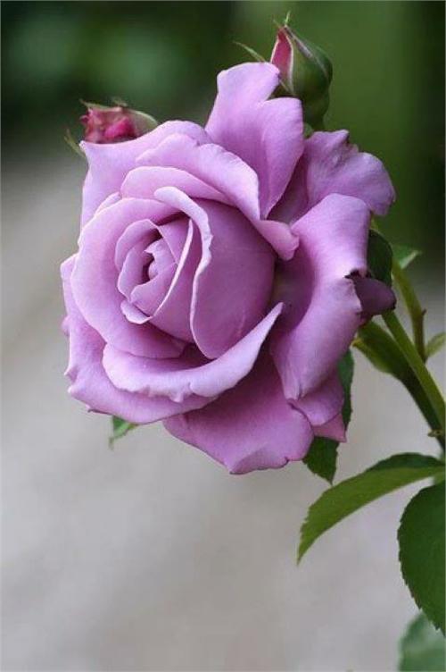 بالصور صور ورود طبيعيه , جمال الورد الطبيعى 4506 10