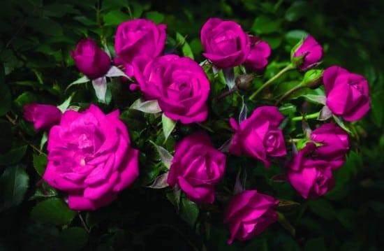 بالصور صور ورود طبيعيه , جمال الورد الطبيعى 4506 11