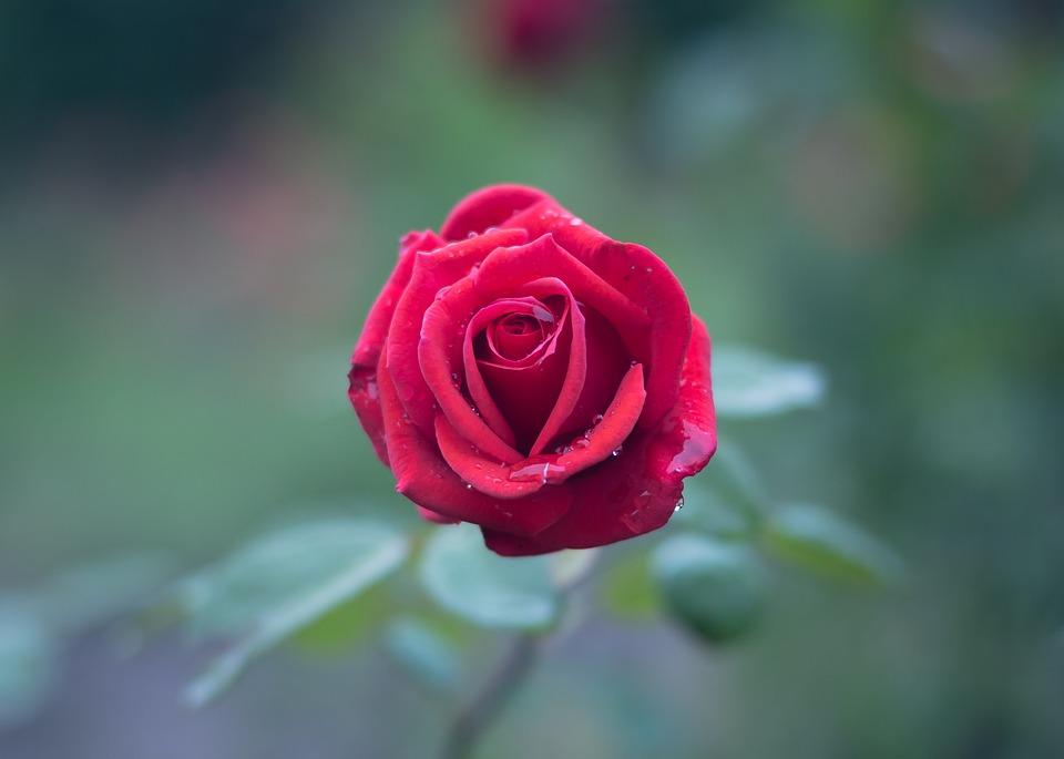 بالصور صور ورود طبيعيه , جمال الورد الطبيعى 4506 3