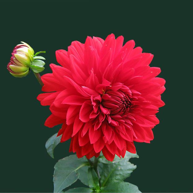 بالصور صور ورود طبيعيه , جمال الورد الطبيعى 4506 5
