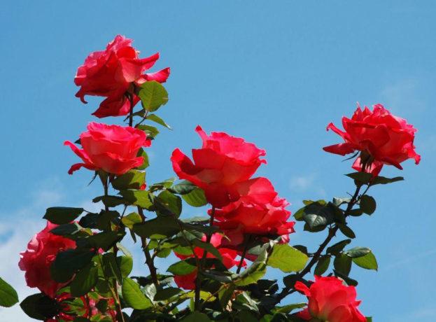 بالصور صور ورود طبيعيه , جمال الورد الطبيعى 4506 8
