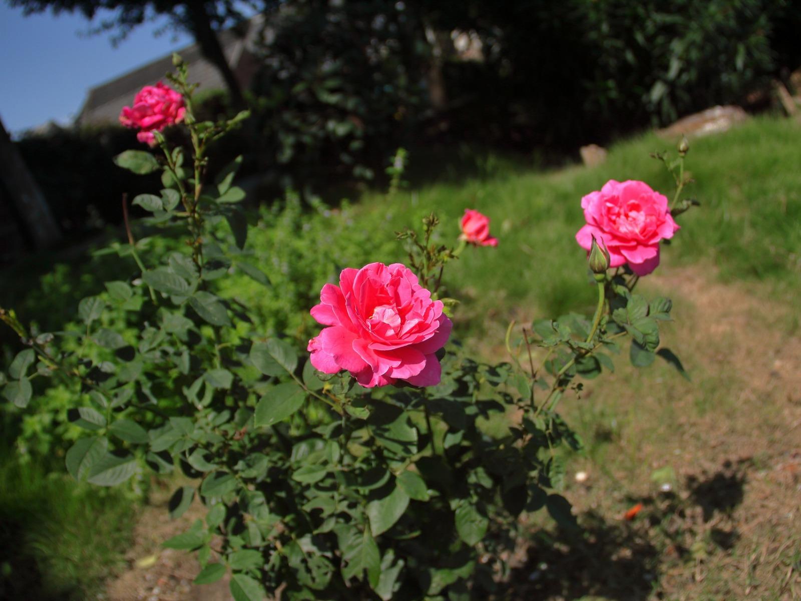 صوره صور ورود طبيعيه , جمال الورد الطبيعى