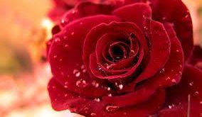 صوره اجمل وردة في العالم , اروع واجمل ورده في العالم