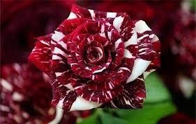 بالصور صور ورد طبيعي , اروع الزهور الطبيعية 5156 10