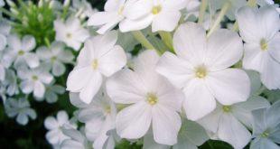 صوره صور ورد طبيعي , اروع الزهور الطبيعية