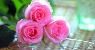 صوره صور ورود جميله , الطبيعة الساحرة والورود