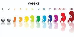 صوره حساب الحمل بالاسابيع , افضل الطرق لحساب فتره الحمل