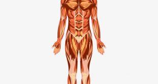 بالصور كم عدد عضلات جسم الانسان . ما لا تعرفه عن عضلات جسم الانسان 2886 3 310x165