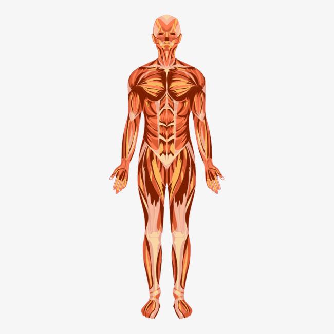 صور كم عدد عضلات جسم الانسان , ما لا تعرفه عن عضلات جسم الانسان