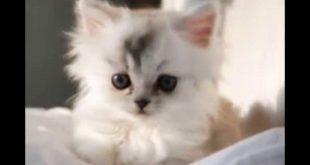 بالصور صور قطط شيرازي , صور جميله للقطط 3092 13 310x165