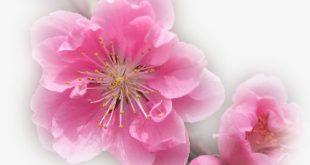 صوره زهور جميلة , ورود رائعة وحلوة