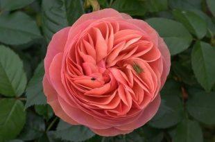 بالصور اجمل الورود في العالم , الورود الاجمل فى الكون 511 14 310x205