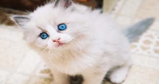 بالصور قطط شيرازى , صور حيوانات اليفة حلوة 6171 2 310x165