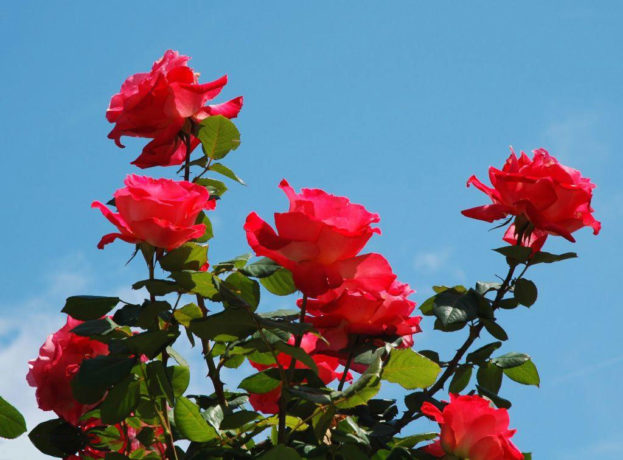 بالصور صور ورد جديد , تهادوا الورد ودا . 6323 13
