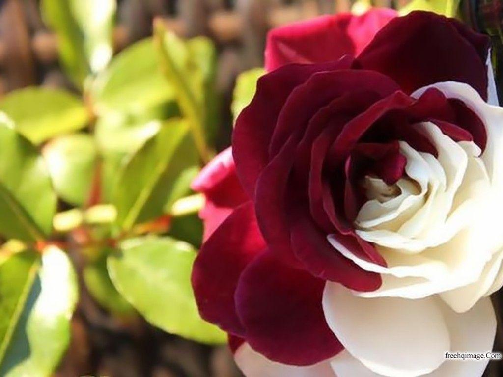 بالصور صور ورد حلوه , احلى الورود واجملها بكل الالوان والاصناف 972 10