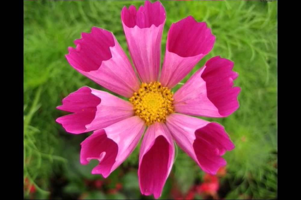 بالصور صور ورد حلوه , احلى الورود واجملها بكل الالوان والاصناف 972 14