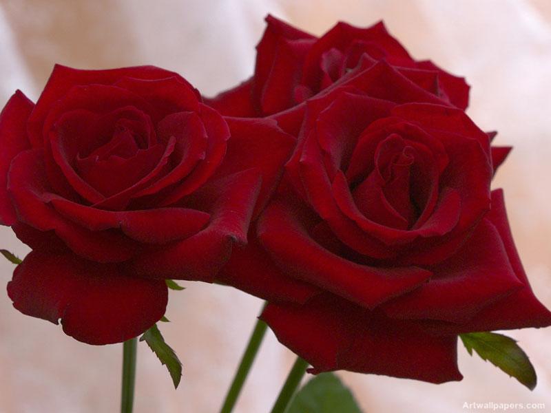 بالصور صور ورد حلوه , احلى الورود واجملها بكل الالوان والاصناف 972 3