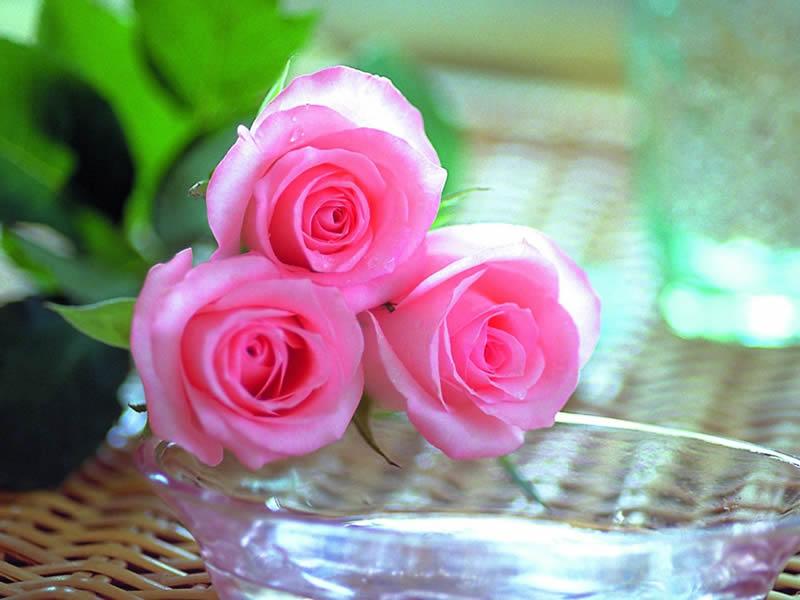 بالصور صور ورد حلوه , احلى الورود واجملها بكل الالوان والاصناف 972 6