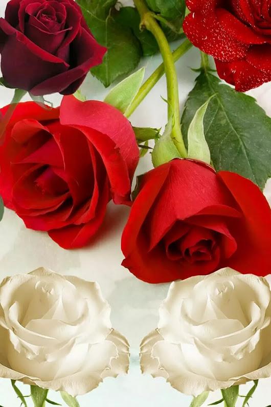 بالصور صور ورد حلوه , احلى الورود واجملها بكل الالوان والاصناف 972 7