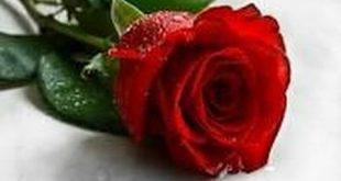 بالصور صور اجمل ورد , صورة ولا في الاحلام مع اجمل الورود 1249 13 310x165