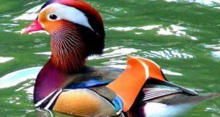 بالصور اجمل حيوان في العالم , تعرف على اجمل حيوان بالصور والتعريف 154 12 310x165