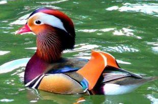 بالصور اجمل حيوان في العالم , تعرف على اجمل حيوان بالصور والتعريف 154 12 310x205