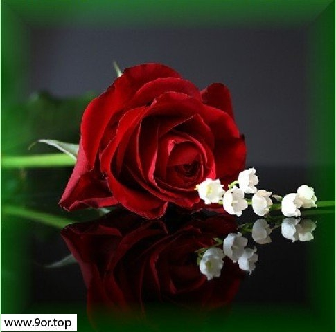 ورود رومانسية هدايا رومانسية عاشقة من الورود الحالمة قصة شوق