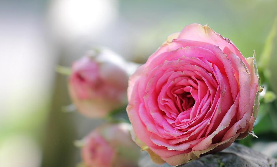بالصور صور ورود جميلة , خلفيات رومانسية للعشاق بطعم الورد 3545 1