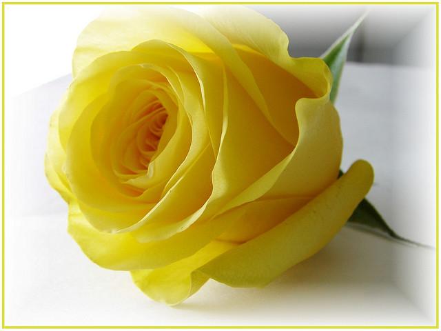 بالصور صور ورود جميلة , خلفيات رومانسية للعشاق بطعم الورد 3545 5