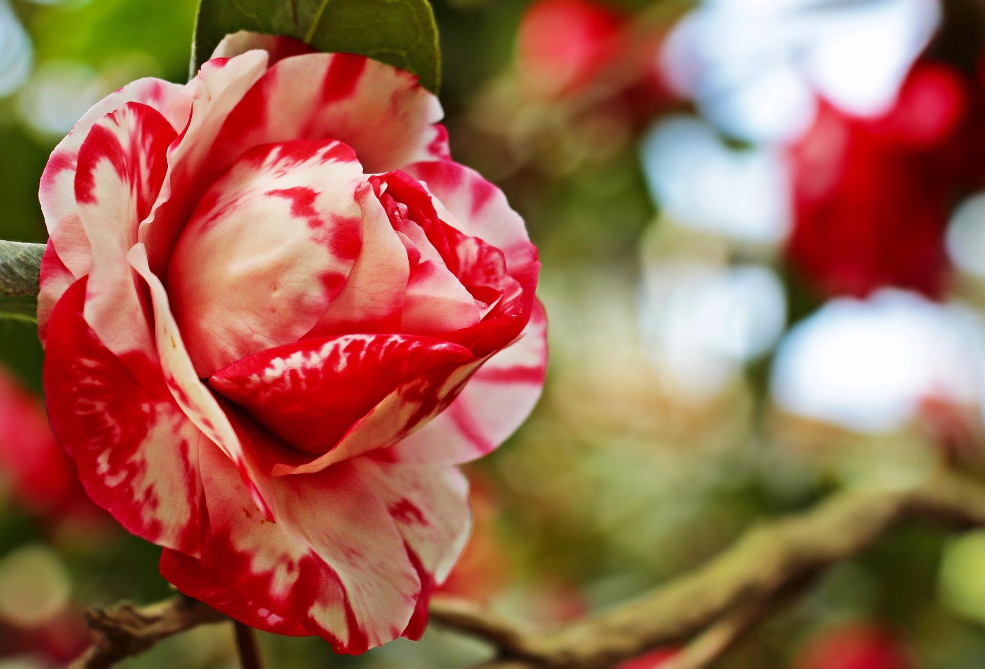 بالصور صور ورود جميلة , خلفيات رومانسية للعشاق بطعم الورد 3545 8
