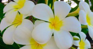 بالصور اجمل الصور لزهرة الياسمين , اروع صور لزهرة الياسمين 12113 13 310x165