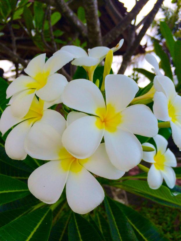 صور اجمل الصور لزهرة الياسمين , اروع صور لزهرة الياسمين